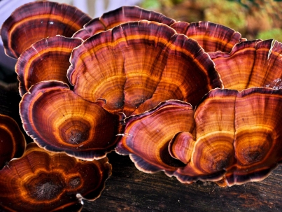 خواص قارچ گانودرما